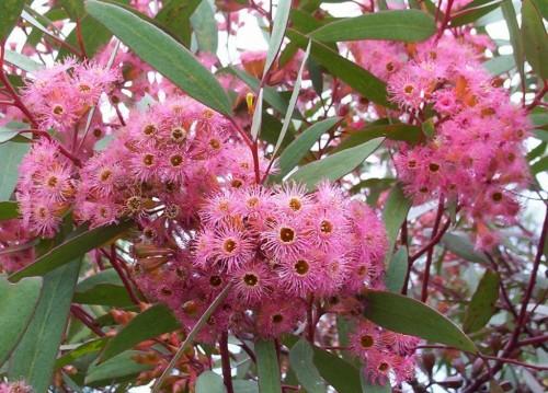 Eucalyptus calycogona (Square- fruited Mallee)