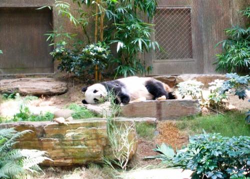 Giant Panda - Hong Kong Ocean Park
