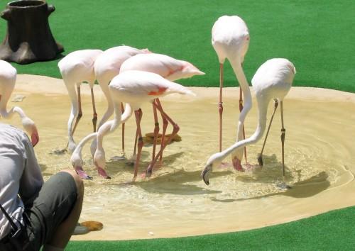 Flamingos - Hong Kong Ocean Park