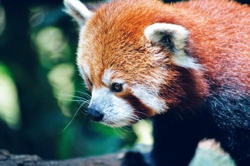 Red Panda - Mogo Zoo - 2003