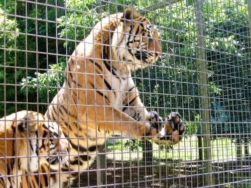Tigers at Mogo Zoo