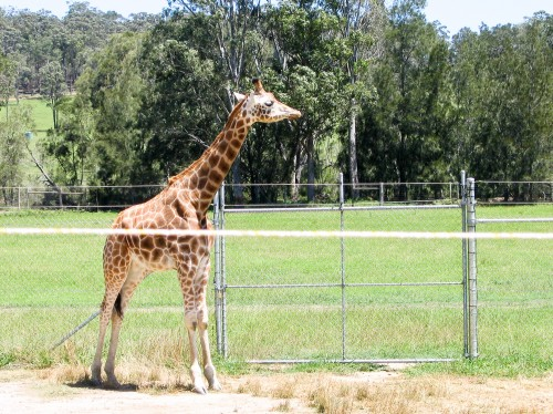 Giraffe - Mogo Zoo - 2003