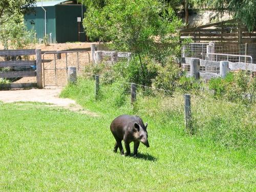 Tapir - Mogo Zoo - 2003