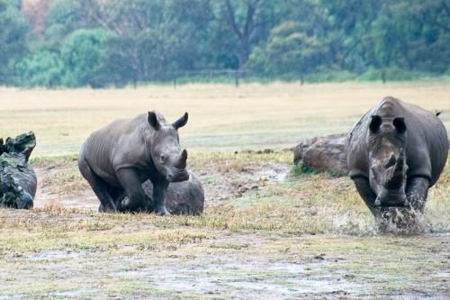 White Rhino - Werribee Open Range Zoo - 2003