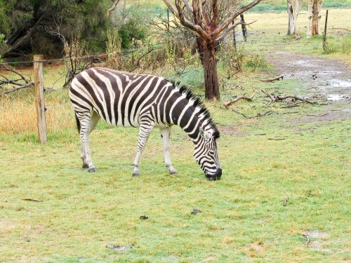 Zebra - Werribee Open Range Zoo