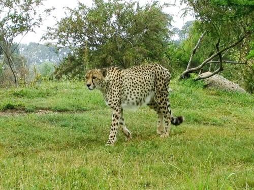 Cheetah - Werribee Open Range Zoo