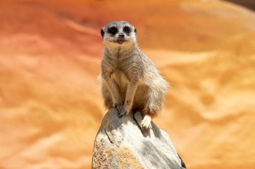 Meerkat at Taronga Zoo