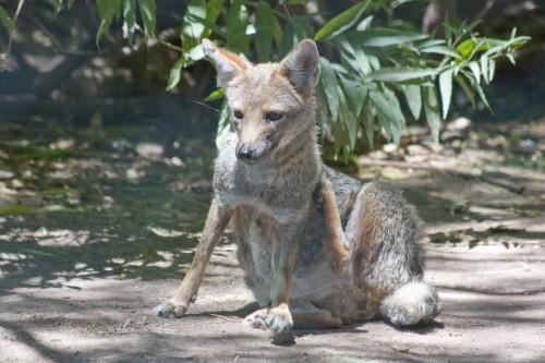 Zorro Gris (Grey Zorro), Buenos Aires Zoo