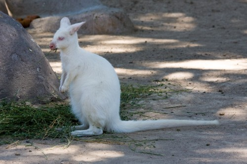 Wallaby de Cuello Rojo (Red Necked Wallaby) - Albino. Beunos Aires Zoo