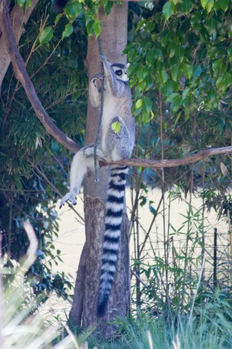 Ring Tailed Lemur, Buenos Aires Zoo