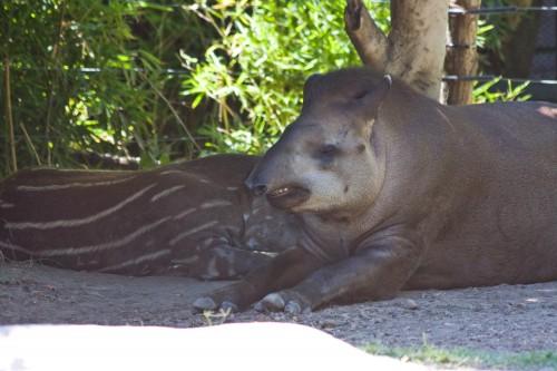 Brazilian Tapir, Buenos Aires Zoo