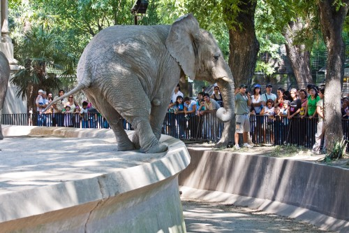 African Elephant, Buenos Aires Zoo
