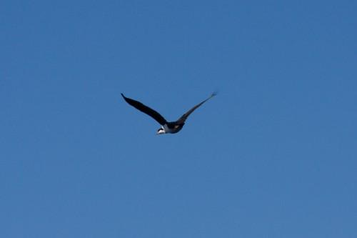 Imperial Cormorant - Navimag