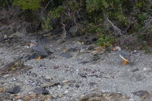 Flightless Steamer Ducks - Navimag