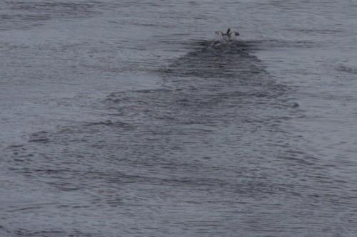 Flightless Steamer Duck - Navimag