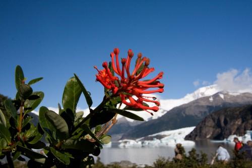 Fire bush - Onelli Bay, Glaciers National Park - El Calafate, Argentina