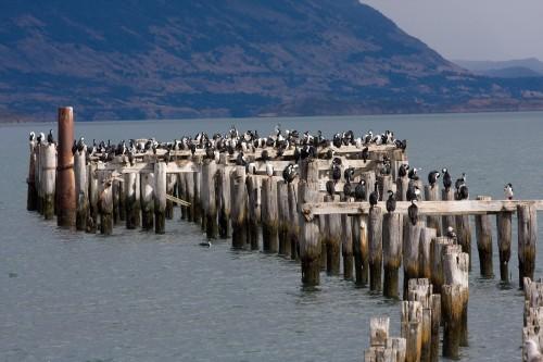 Cormorant Colony - Puerto Natales, Chile