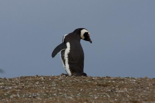 Does this make my backside look big ? Magellanic Penguin - Magdalena Island