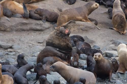 Sea Lions - Marta Island, near Punta Arenas, Chile