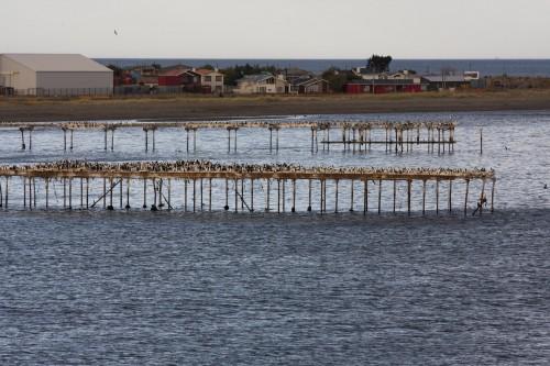 Imperial Cormorants - Punta Arenas