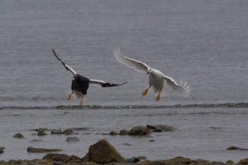 Kelp Geese, Ainsworth Bay, Cruceros Australis