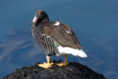 Kelp Goose - Ushuaia, Argentina
