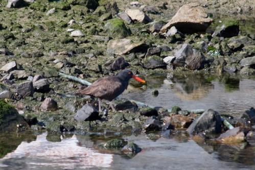 Oystercatcher - Ushuaia, Argentina