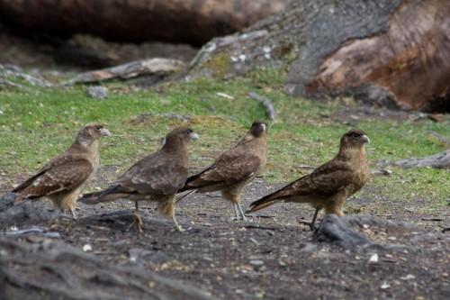 Chimango Caracara, Tierra del Fuego National Park - Ushuaia, Argentina