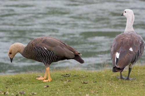 Geese, Tierra del Fuego National Park - Ushuaia, Argentina