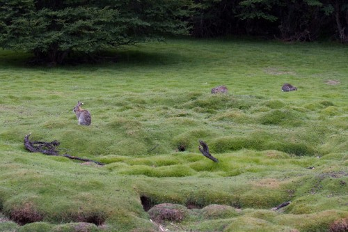 Rabbits, Tierra del Fuego National Park - Ushuaia, Argentina
