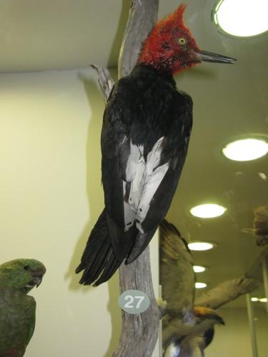 Magellanic Woodpecker (stuffed) - Museo Fin del Mundo