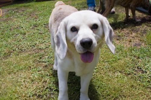 A Beagle called Bagel