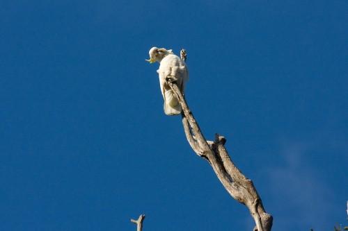 Sulphur Crested Cockatoo - Lane Cove NP