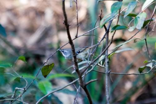 White Browed Scrub Wren