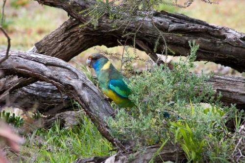 Monarto Zoo - Mallee Ringneck Parrot