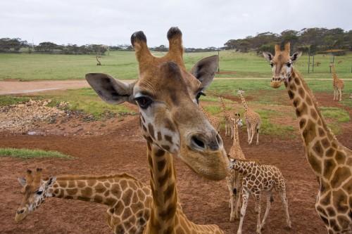 Monarto Zoo - Giraffes