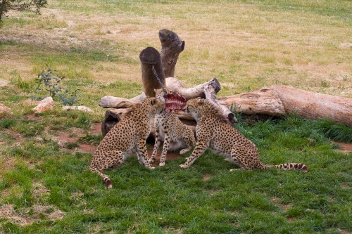 Monarto Zoo - Cheetahs having a feed