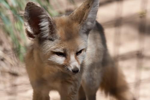 Fennec Fox - Taronga Zoo