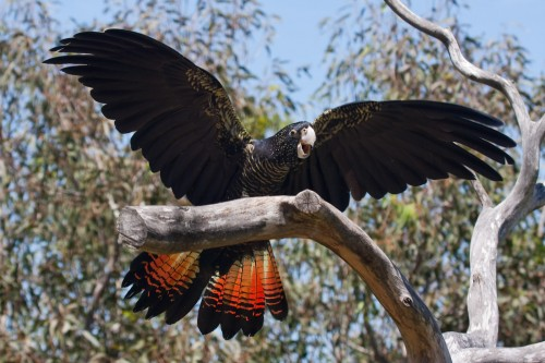 Red-tailed Black Cockatoo - Free Flight Bird Show - Taronga Zoo