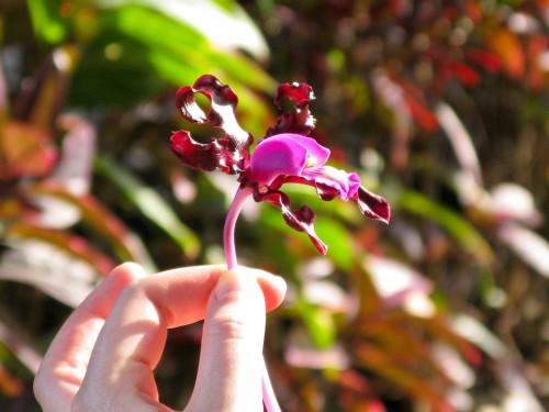 Orchid - Sugar Cane Museum