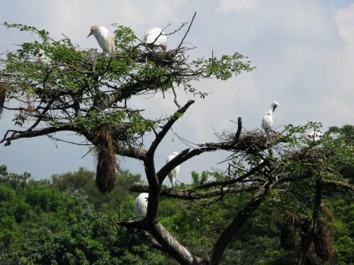 Egrets nesting
