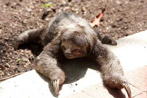 Resident three-toed sloth at Hotel Caribe