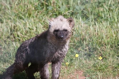 Hyena Pup - Monarto Zoo