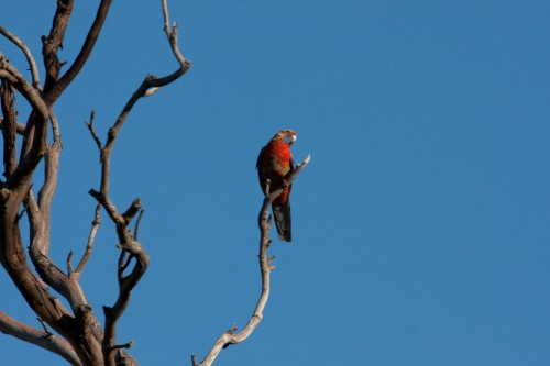 Adelaide Rosella (wild) - Monarto Zoo