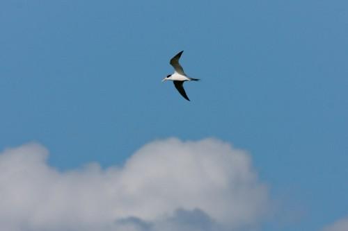 Fairy Tern - Goolwa
