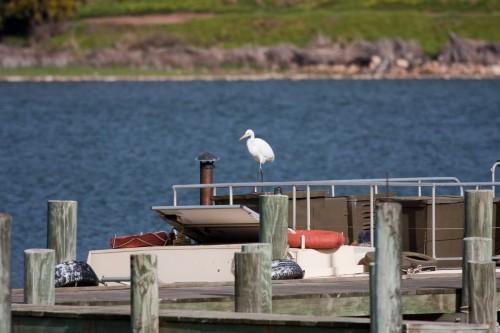 Cattle Egret - Goolwa