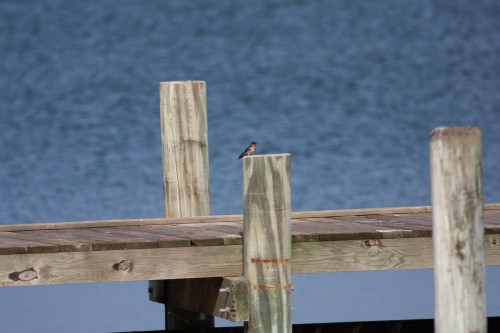 Welcome Swallow - Goolwa