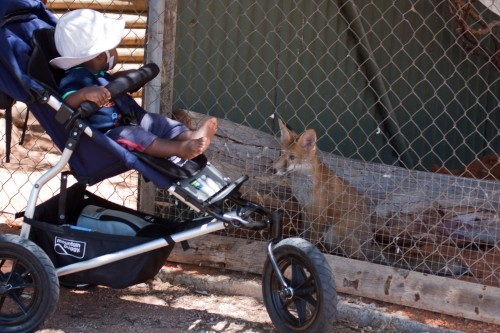 Andres says hello to a fox at Bredl's Reptile Park