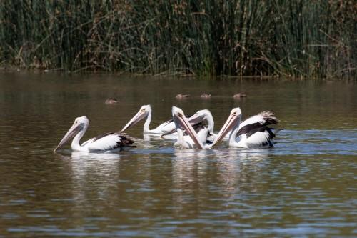 Pelicans - Laratinga Wetland
