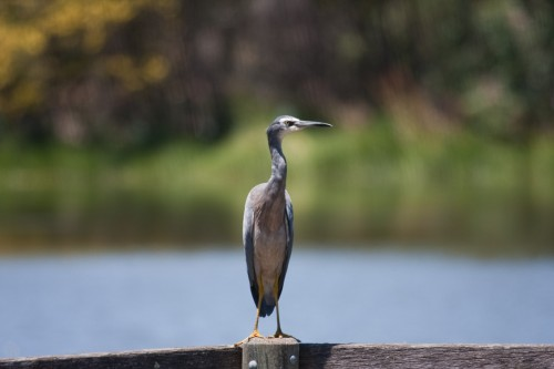 White Faced Heron - Laratinga Wetland